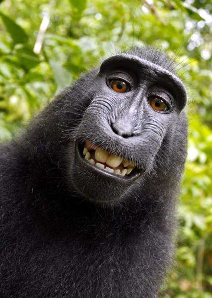Monyet Sulawesi0