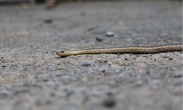 ular di mobil